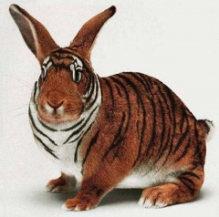 tigerclub in the rabbit year.jpg